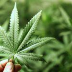 Ezúttal egy szerb drogfutár bukott le Röszkénél
