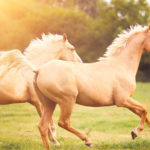 Felismerik a lovak az emberi érzelmeket
