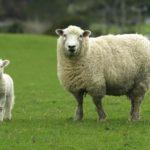 Fantasztikus felfedezés a juhokról