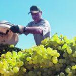 Jó lesz a szőlőtermés idén