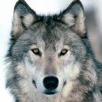 A farkasok védelmére keltek Szlovéniában